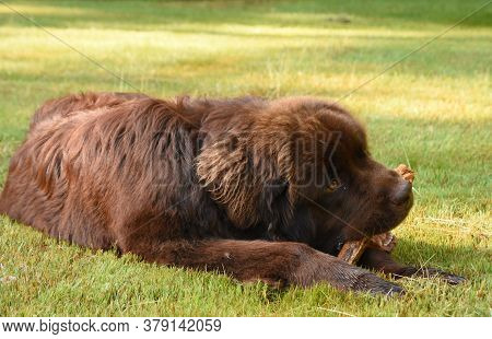 Large Brown Newfoundland Dog Chewing On A Large Stick.