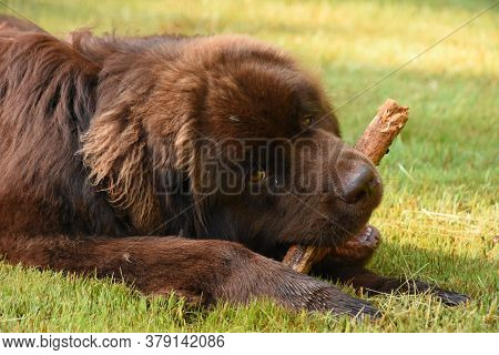 Sweet Brown Newfoundland Dog Chewing On A Stick.