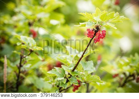 Red Currant Bush With Ripe Red Berries.red Currant Grows On A Bush In The Garden, Berry, Harvest, Su