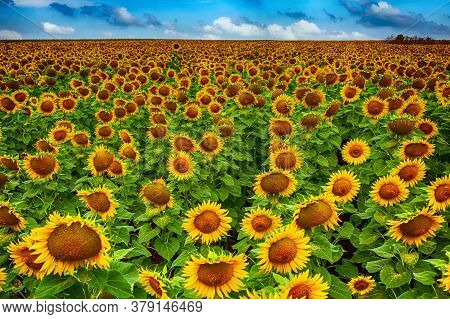 Field Of Yellow Sunflowers In The Summer Against The Blue Sky And Clouds. Hdr
