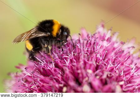 Funny Cute Bumblebee Sitting On A Lilac Fluffy Flower And Eating Sweet Nectar
