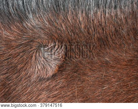 Swirl In Horse Fur. A Typical Distinguishing Atribut Determining The Quality And Value Of An Individ