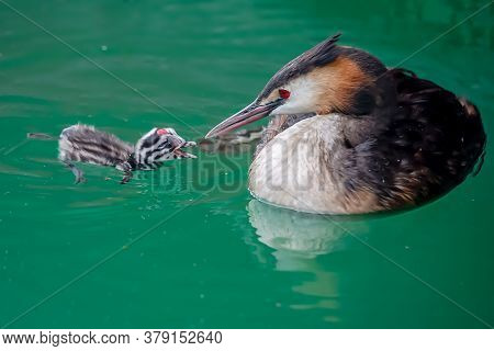 Great Crested Grebe (podiceps Cristatus) With Young Chick Are Swimming In Lake Geneva, Switzerland.