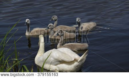 White Swan With Small Swans Near The Shore. Offspring Of Wild Geese In The Reservoir. The Gray Gosli