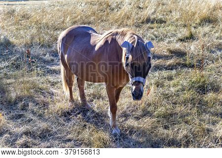 Brown Young Horse With Sun Protection At Ears At The Meadow