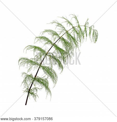 Green Horsetail Branch Isolated On White Background