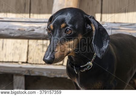 The Dog, Dachshund Breed, Sits On A Background Of Wooden Structures And Looks Down.  Concept: Pets I