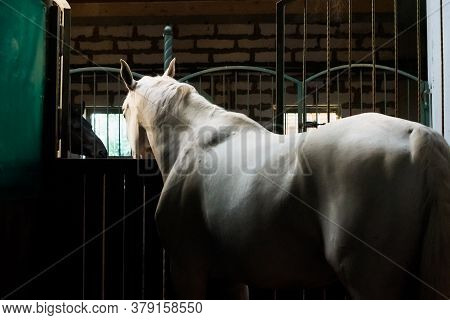 Beautiful White Horse At The Ranch. Hippodrome Preparing For The Race. Atmospheric Photo For Content