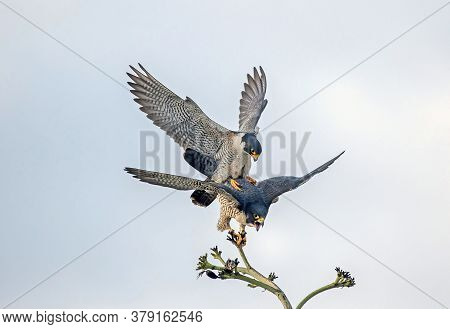 Two Hawks Fighting For Food In The Air, 2 Hawks Mating, Close Up Of Hawks Hunting