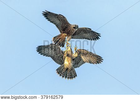 Gavilano In Full Flight With Fish In Its Claws, Sparrowhawks Fighting For Food In The Air