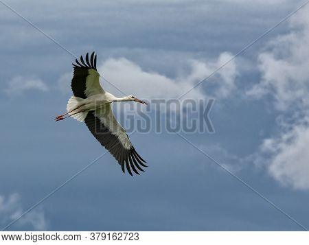 Seagull Flying With Outstretched Wings
