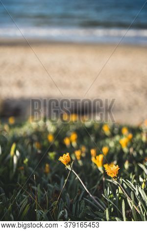 Close-up Of Yellow Daisises By The Beach Shot At Shallow Depth Of Field