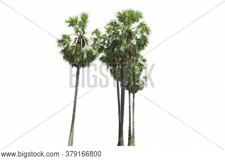 Sugar Palm Trees Or Toddy Palm Isolated On White Background.