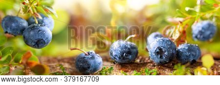 Fresh and ripe blueberries with green leaves growing in an autumn forest. Concept of healthy and organic food. Macro, soft focus