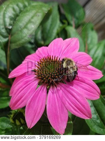 Purple Echinacea Coneflower With Bumble Bee. Green Foliage