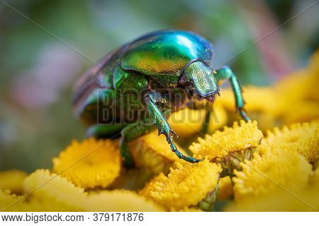 Rose Beetle (cetonia Aurata) On A Yellow Flower In The Garden