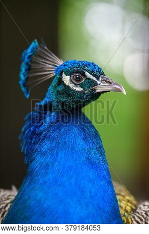 Head Shot Of A Peacock Portrait On Blurred Background