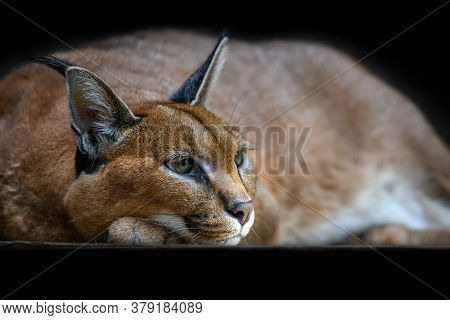 Close Beautiful Caracal Lynx Over Black Background