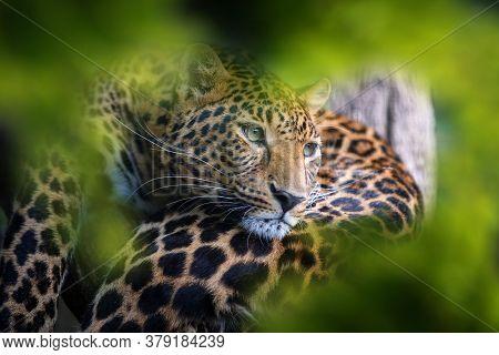 Leopard, Wild Animal In The Natural Habitat. Big Cat In Hidden In Forest