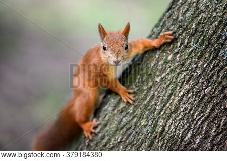 Cute Red Squirrel With Long Pointed Ears In Autumn Forerst