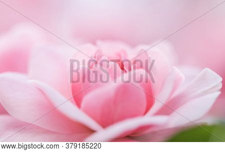 Botanical Concept, Wedding Invitation Card - Soft Focus, Abstract Floral Background, Pink Rose Flowe