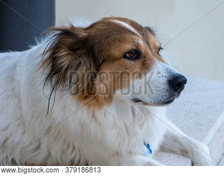 Cute Female Greek Shepherd Dog White And Brown Color, Animal Head Closeup View. Friendly Domestic Pe