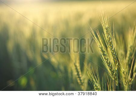 Wheat In The Morning