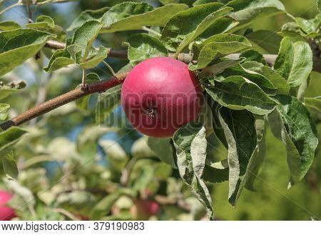 Early Ripening Variety Of Red Apple On A Branch.