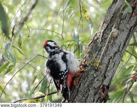 A Woodpecker In A Red Beanie And With A Red Belly On The Trunk Of A Willow
