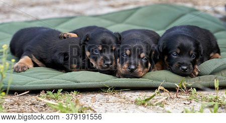 Jack Russell Terrier Puppies. Close-up Portrait, Lie On A Green Cloth. Banner Or Cover