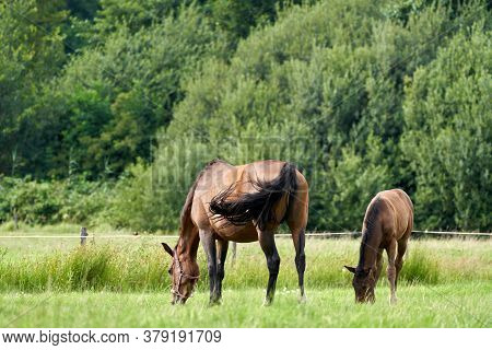 A Brown Foal And A Brown Mare In The Field, Grazing In The Field, Pasture, Horse
