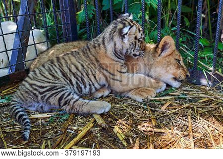 A Tiger Cub And Lion Cub Are In The Cage Pressed Against Each Other. The Friendship Of The Two Preda