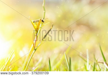 A Stripted Honey Bee Sits On A Yellow Flower, Drinks Nectar, Pollinates Them In A Summer Meadow In T