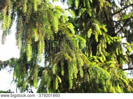 A Dense Branch Of A Taiga Spruce In The Sunlight, Wildlife. Conifer Tree