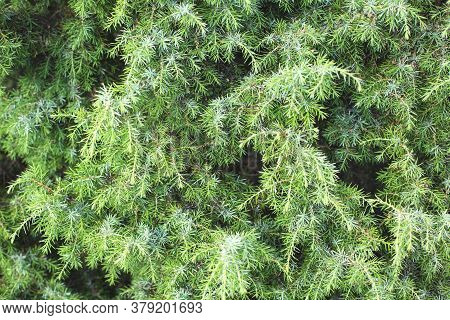 Background From Beautiful Thick Green Juniper Branches. Conifers In Alternative Medicine, Medicinal