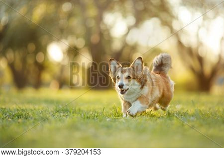 Dog In The Park Runs, Plays. Welsh Corgi Pembroke In Nature, On The Grass. Active Pet Outdoors