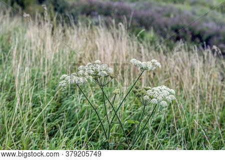 Closeup Of Seed And White Flowers Of Common Hogweed Uncultivated Growing In The Wild Nature. The Pho