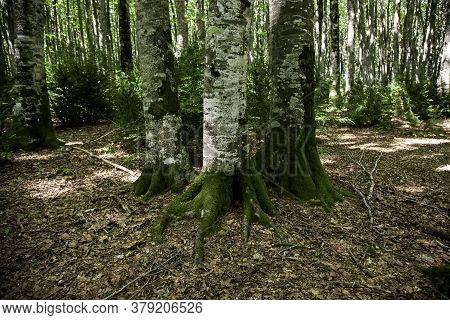 Ancient Beech Forest