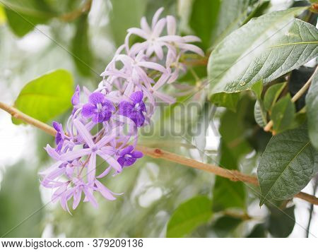 Flower Purple Sandpaper Vine Purple Wreath Bouquet Of Five Petals Like Five Pointed Hairy Base Of Th