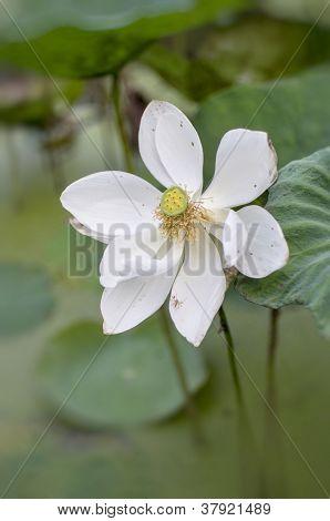 White Lotus bloom