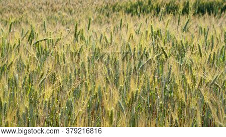 A Beautiful Barley Field With Green Ears As A Background. Flowering Grain, Seeds Of Cereal Agricultu