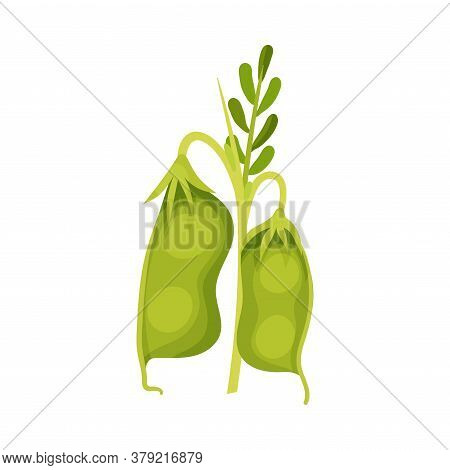 Grain Legume Or Pulse Crop With Pod And Beans Vector Illustration