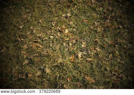 Dry Oak Leaves On The Withering Autumn Grass. Background, Vignette.