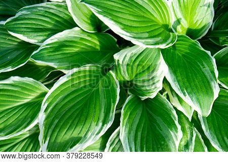 Close Up Of Fresh Green Leaves With White Stripes Of Hosta Patriot Plant. Botanical Foliage. Nature