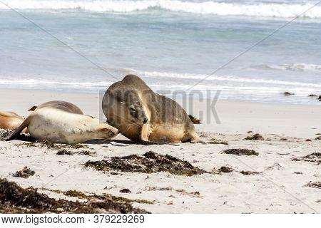 Two Sea Lions On The Sandy Beach, South Australia.