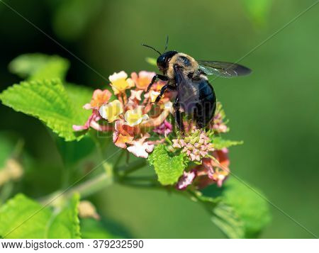 Black And Yellow Bumblebee Pollinating A Vibrant Colored, Pink, Orange And Yellow Flower Bloom In Na