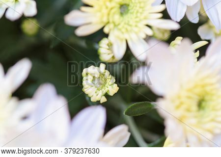 Close Up Of White Chrysanthemum Bud And Flowers With Yellow Centers. Selective Focus With Blurred Fo