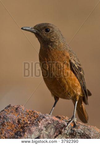 Cape Rock-Thrush Female