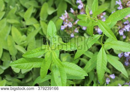 The Picture Shows Lemon Verbena In The Garden
