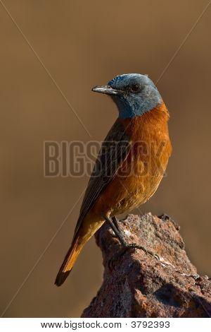 Cape Rock-Thrush Male